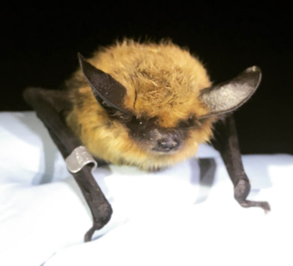Western Long Eared Myotis - Contributed Photo