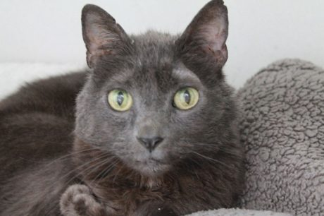 Leno is this week's Pet of the Week - Contributed photo