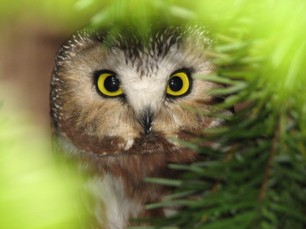 Northern Saw-Whet owl - Wolf Hollow photo