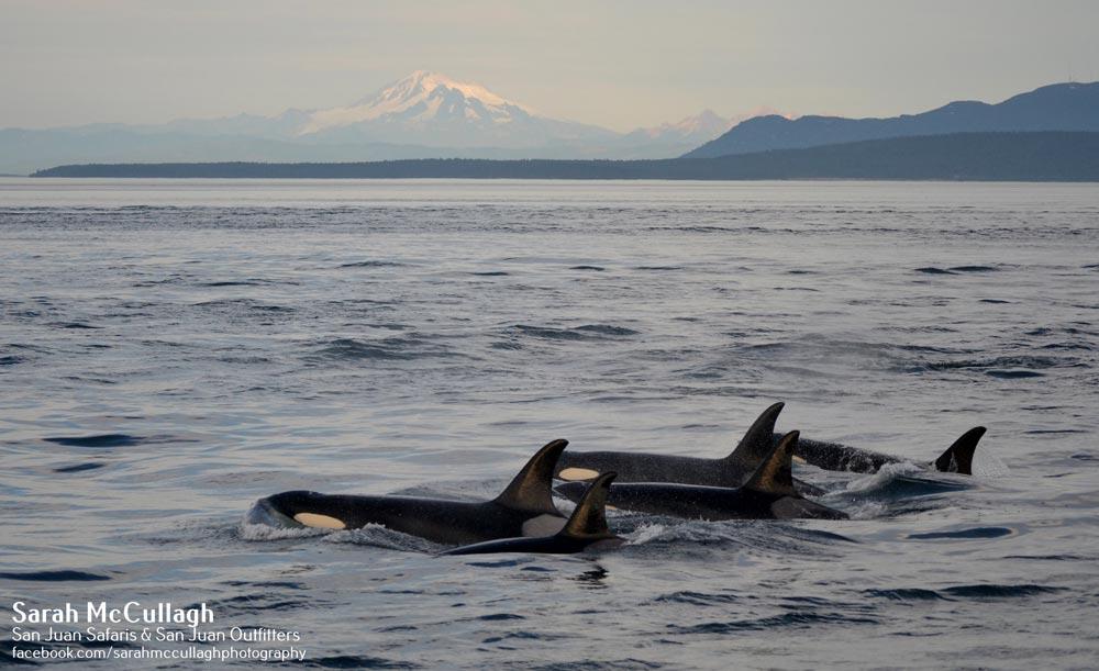 southern-resident-orcas-in-salish-sea-sjio-sjs