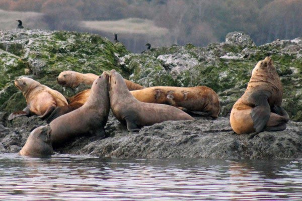 Sea lions at Whale Rocks - Whale Museum photo